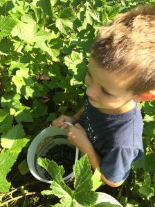 Isaak picking black currants--he's right down at their level.