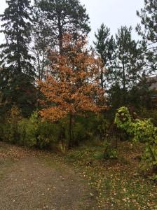 maple near Matt's water garden